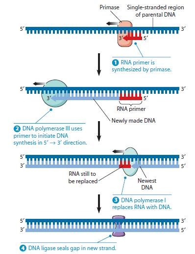 DNA replication of prokaryotes Primas12