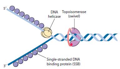 DNA replication of prokaryotes Primas13
