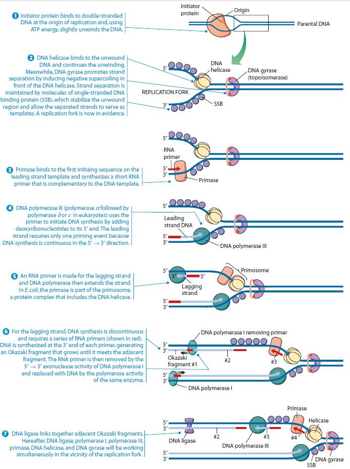 DNA replication of prokaryotes Prokar10