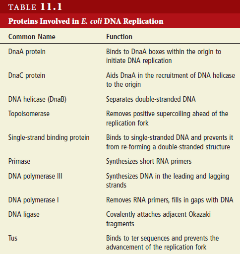 DNA replication of prokaryotes - Page 2 Protei13