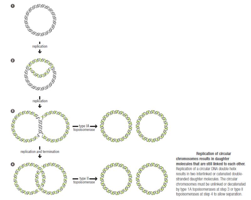 DNA replication of prokaryotes Replic11