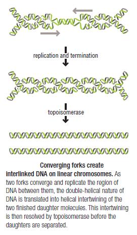 DNA replication of prokaryotes Replic12