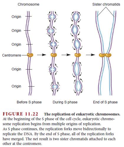 DNA replication of eukaryotes  Replic16