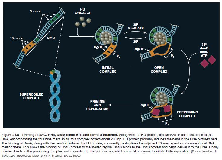 DNA replication of prokaryotes Sem_ty16