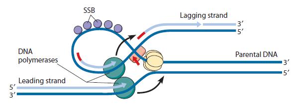 DNA replication of prokaryotes Sem_ty18