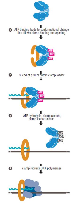 DNA replication of prokaryotes Slidin11