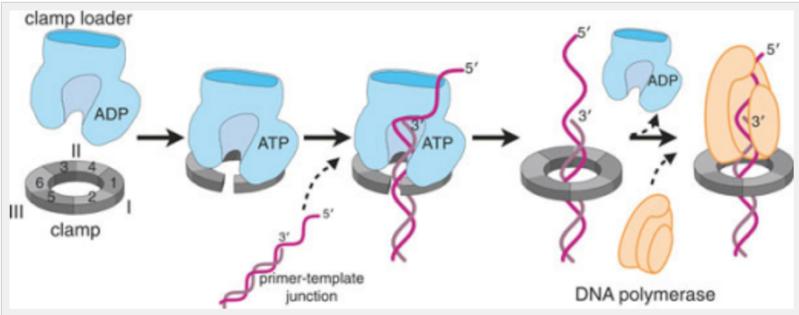 DNA replication of prokaryotes Slidin13