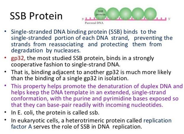 DNA replication of prokaryotes Ssb11