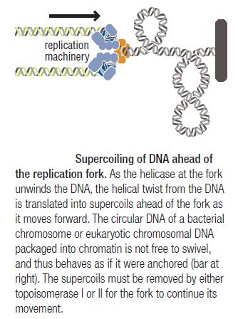 DNA replication of prokaryotes Superc10