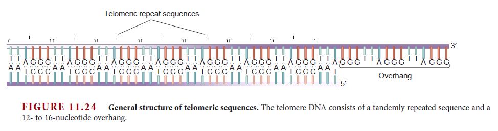 DNA replication of eukaryotes  Telome10