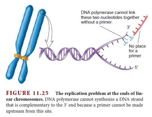 DNA replication of eukaryotes  Telome12