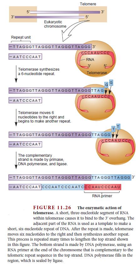 DNA replication of eukaryotes  Telome14