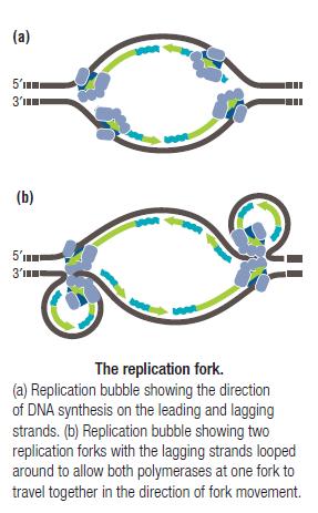 DNA replication of prokaryotes The_re10