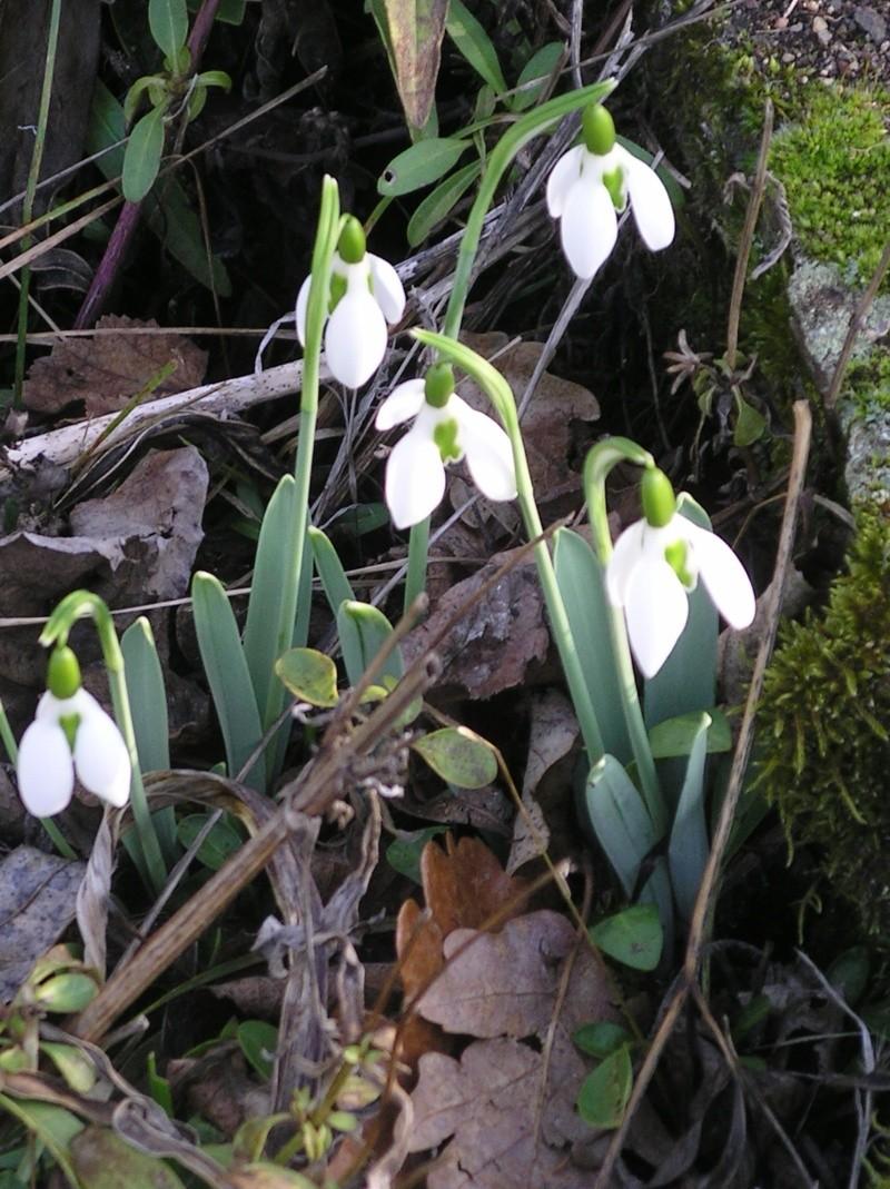 Les perces-neige sont en avance ce printemps. - Page 2 Imgp0036