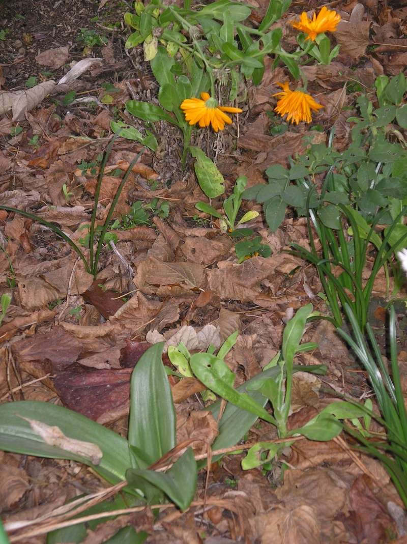 Des orchidées dans vos jardins  Imgp0110