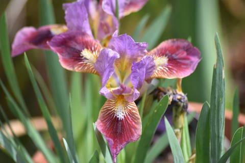 Mes iris 2020 Dsc_0020