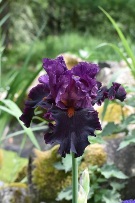 Mes iris 2020 Dsc_0022