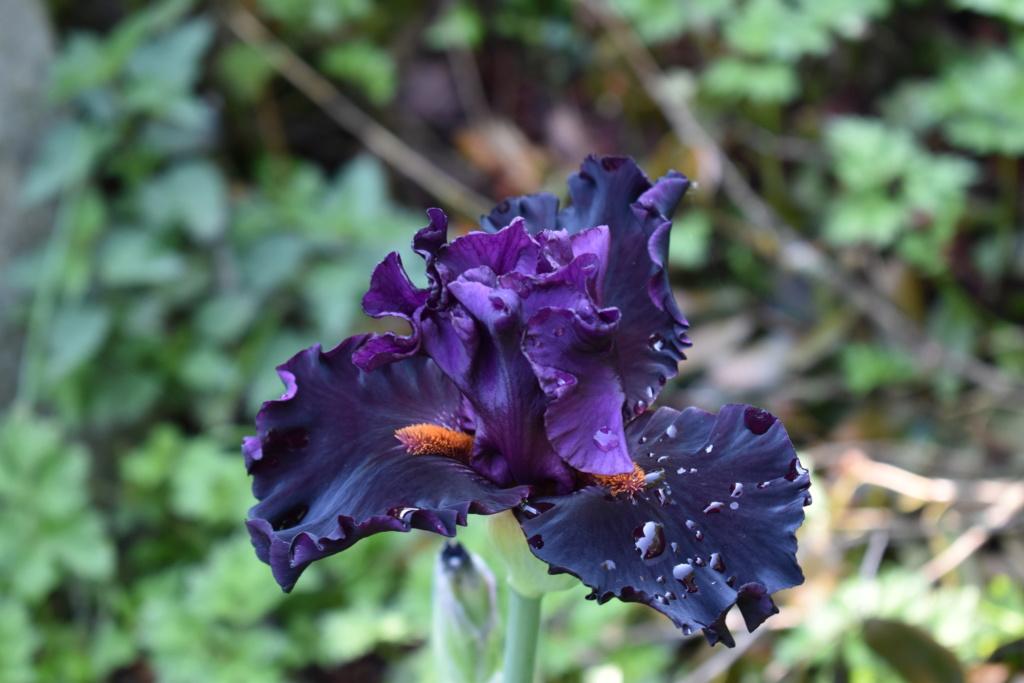 identification iris britanique bicolor Dsc_0311