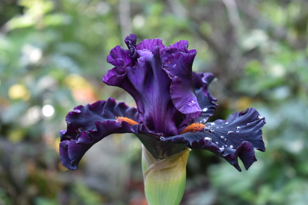 identification iris britanique bicolor Dsc_0312