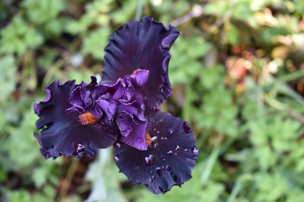 identification iris britanique bicolor Dsc_0313