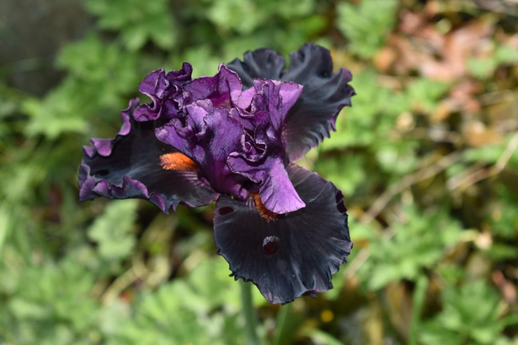 identification iris britanique bicolor Dsc_0314