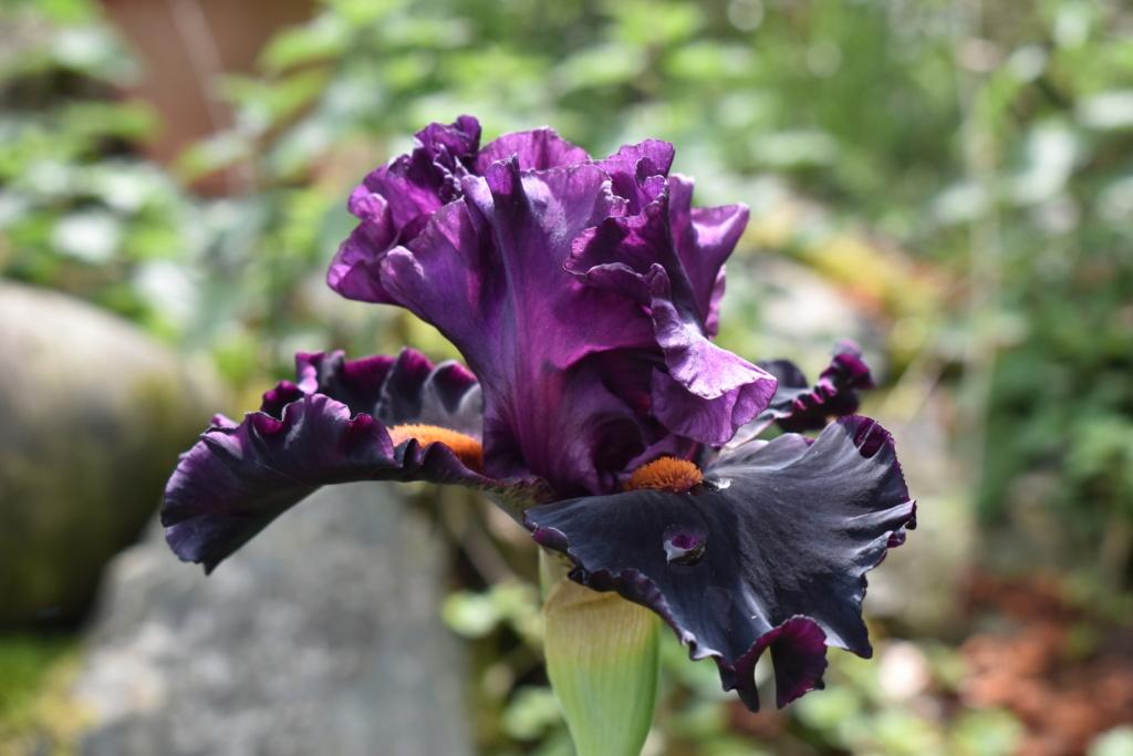 identification iris britanique bicolor Dsc_0315