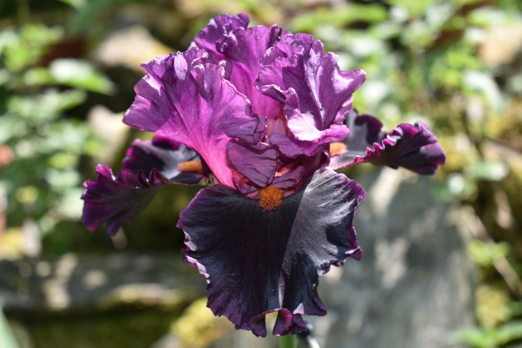 identification iris britanique bicolor Dsc_0318