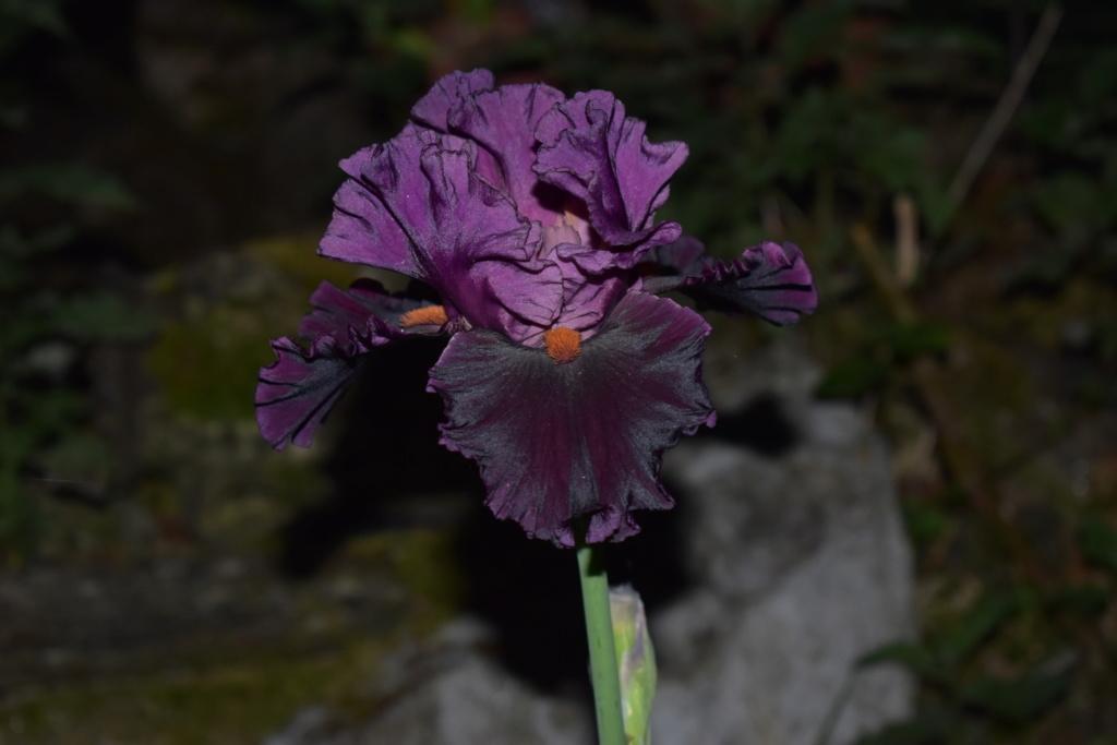 identification iris britanique bicolor Dsc_0410