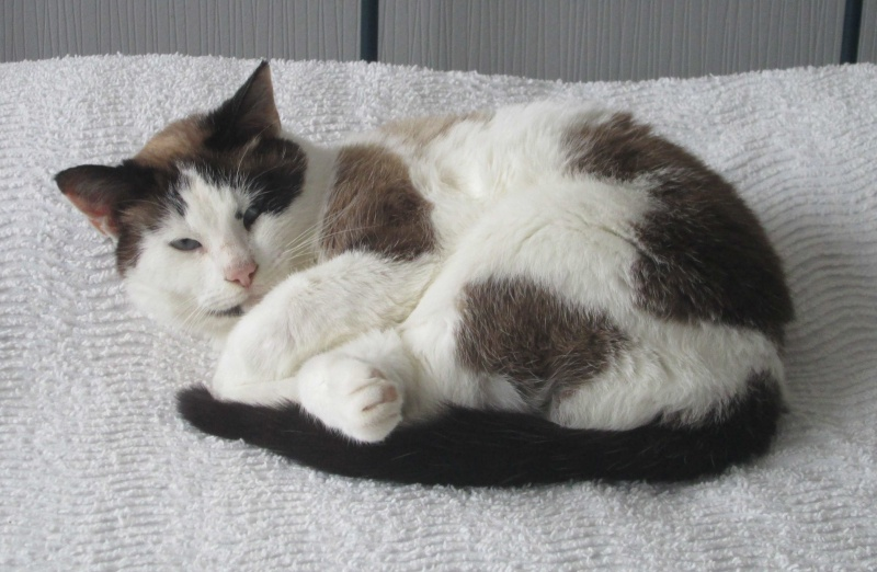 jixy - JIXY, jeune chatte croisée siamoise, née en 2014 Jixy_110