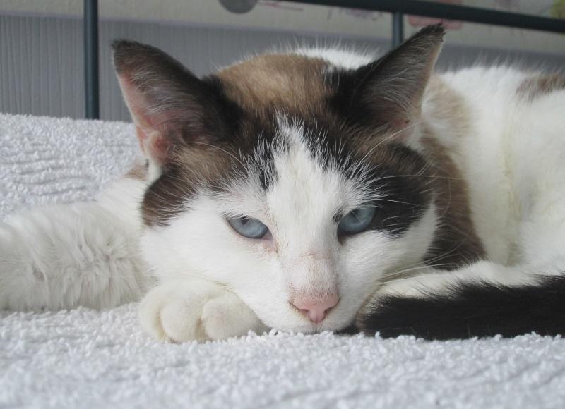 jixy - JIXY, jeune chatte croisée siamoise, née en 2014 Jixy_210