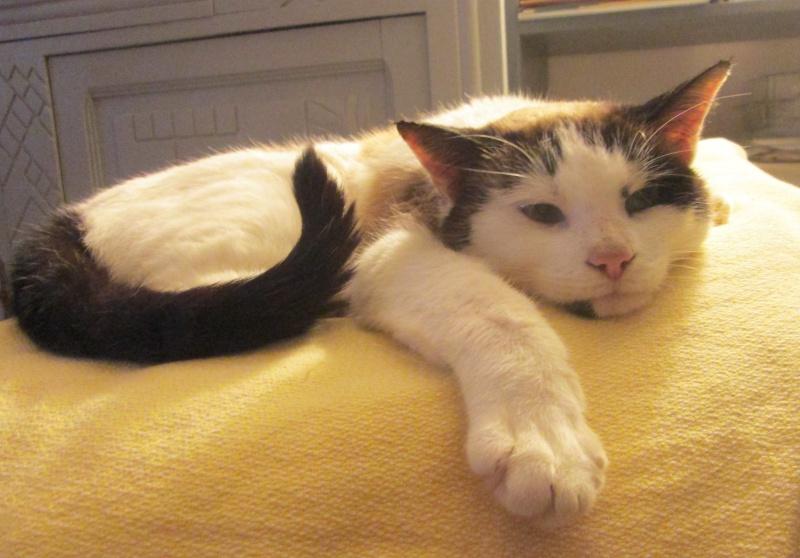 jixy - JIXY, jeune chatte croisée siamoise, née en 2014 Jixy_510