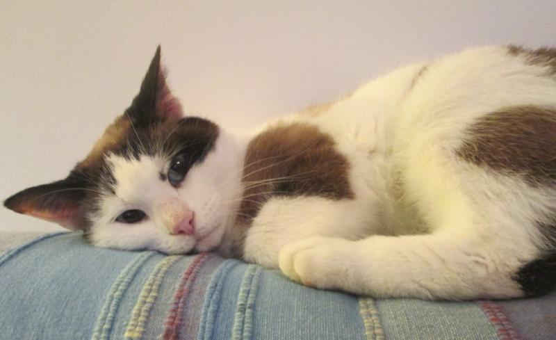 jixy - JIXY, jeune chatte croisée siamoise, née en 2014 Jixy_710