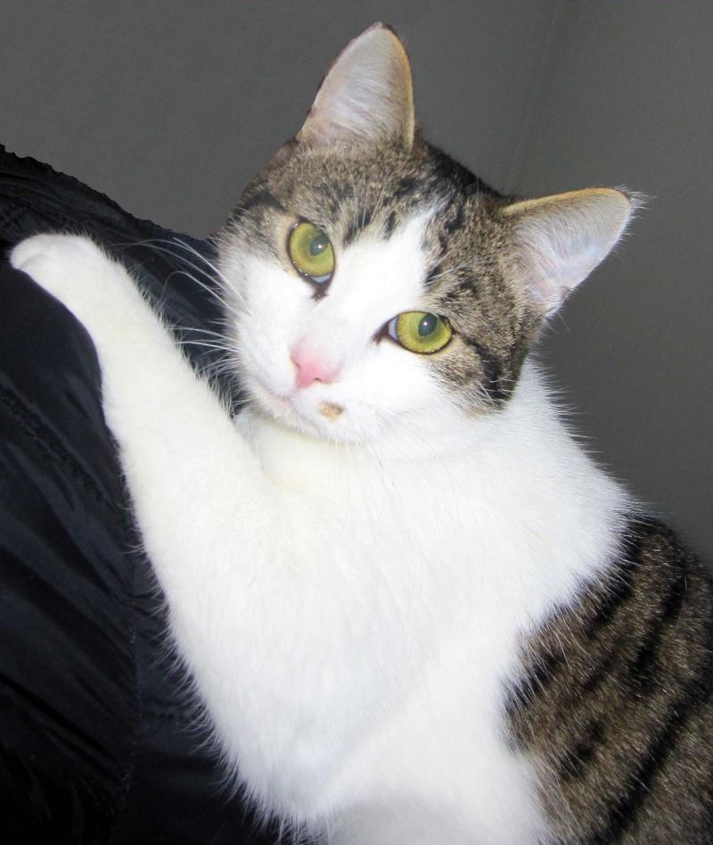 lucious - Lucious, jeune chat mâle de type européen, tabby fauve et blanc, né en Juillet 2015 Luciou11