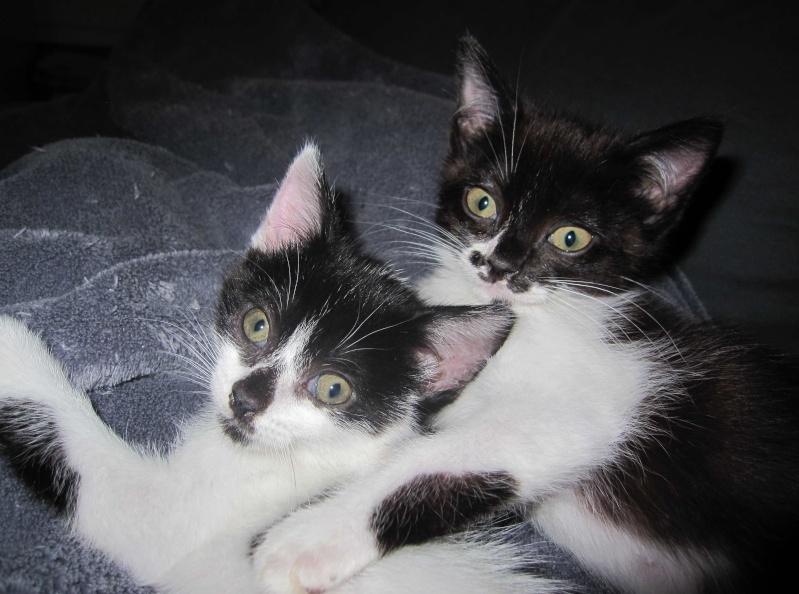 LYNETTE, chatonne européenne, noire & blanche, née le 20/10/15 Lynett11