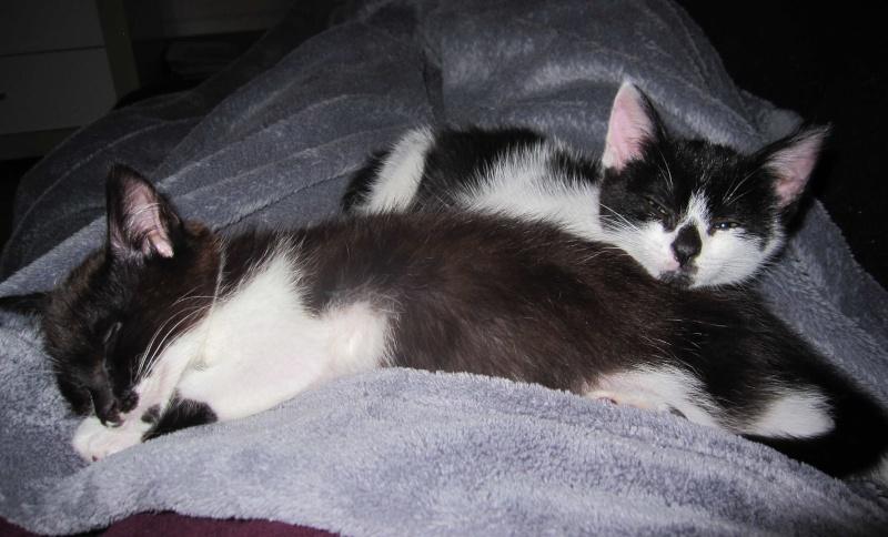 LYNETTE, chatonne européenne, noire & blanche, née le 20/10/15 Lynett13