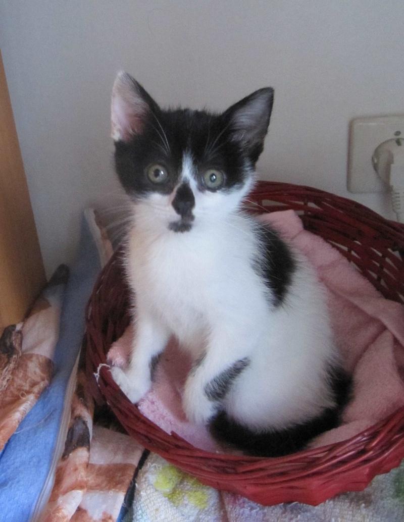 LYNETTE, chatonne européenne, noire & blanche, née le 20/10/15 Lynett14