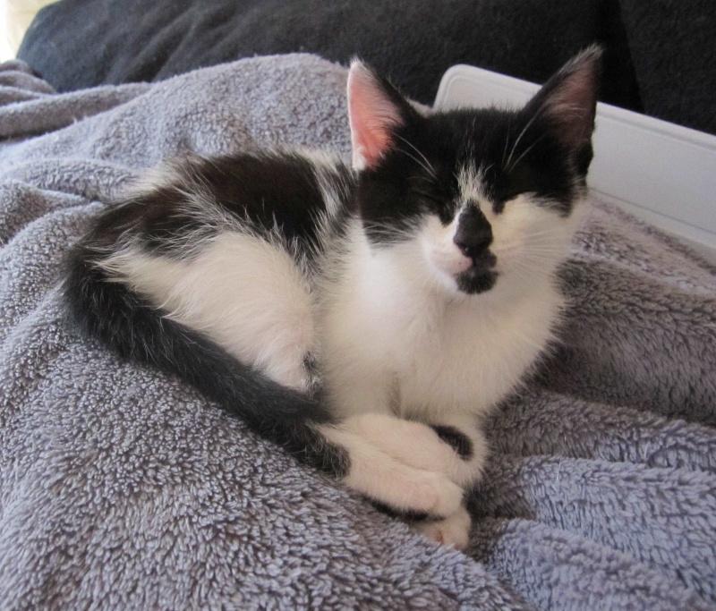 LYNETTE, chatonne européenne, noire & blanche, née le 20/10/15 Lynett17