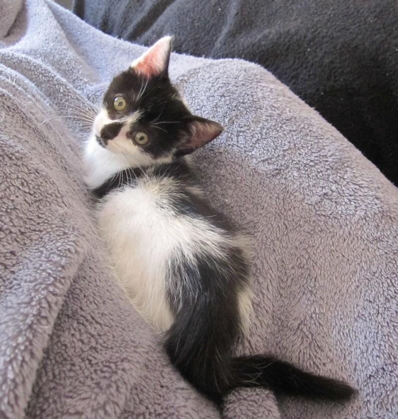LYNETTE, chatonne européenne, noire & blanche, née le 20/10/15 Lynett18