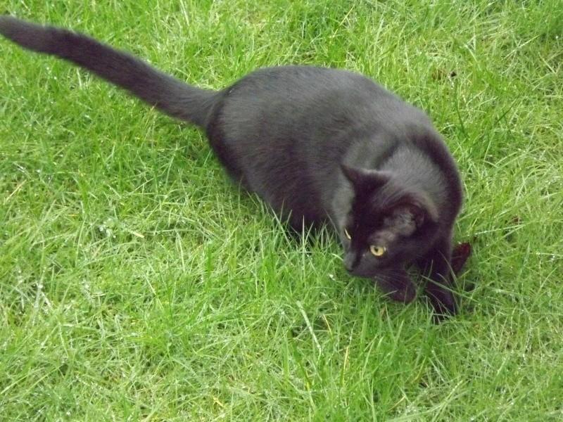 Lucifer, chaton  de type européen  noir, né le 01/07/2015 Zoufri10