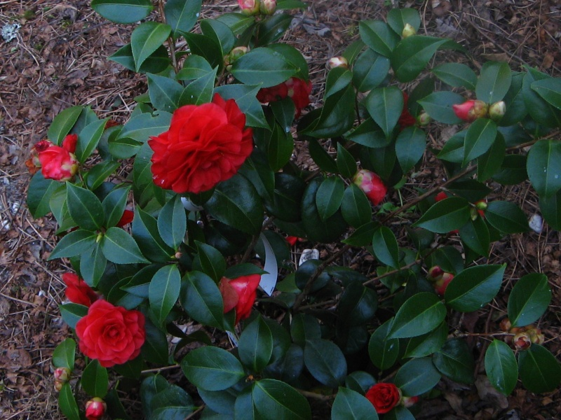 Camellia rouge [identification non terminée]  Camell36