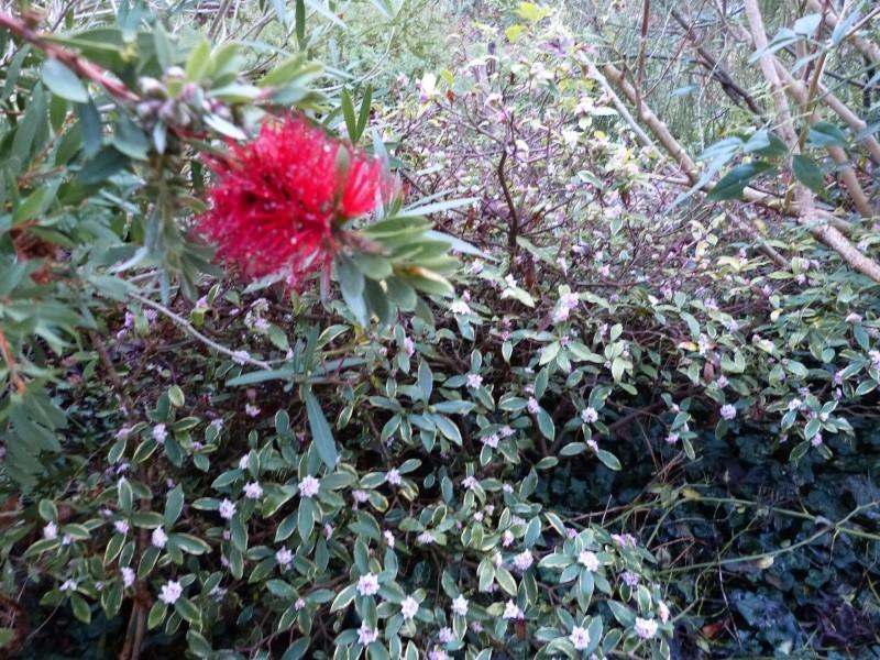 Plantes parfumées 2016 Daphne14