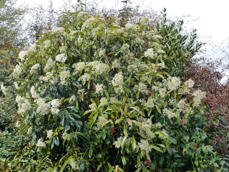 Photinia serrulata Photin15
