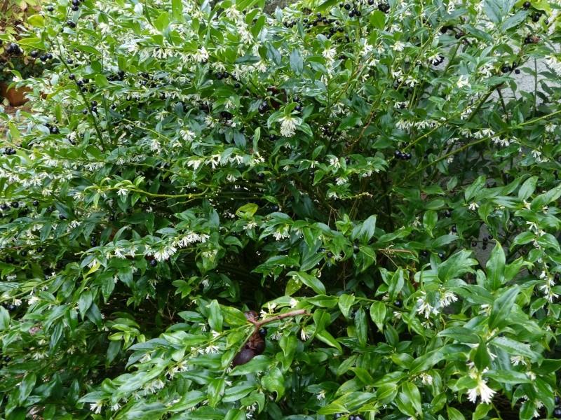 Plantes parfumées 2016 Sarcoc13