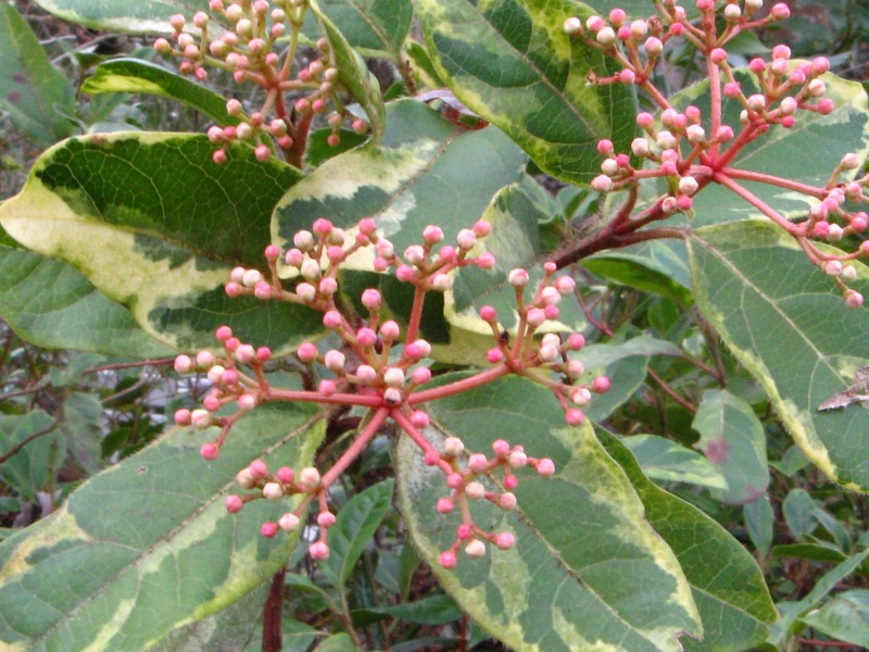 Viburnum tinus - viorne tin, laurier tin - Page 2 Viburn16