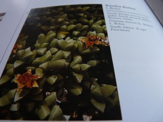 Aizoaceae du jardin  - Page 6 P1020315