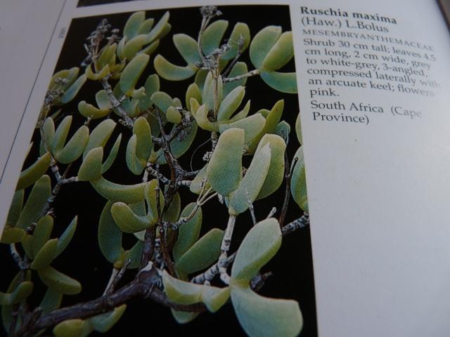 Aizoaceae du jardin  - Page 6 P1020316