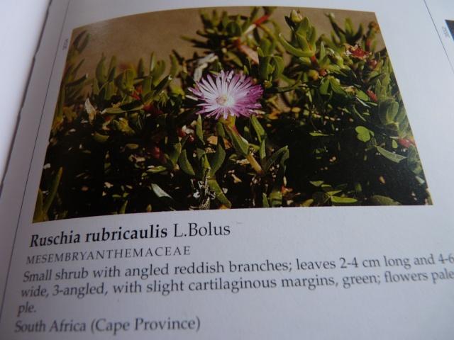 Aizoaceae du jardin  - Page 6 P1020319