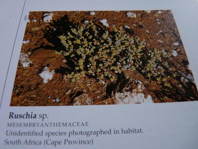 Aizoaceae du jardin  - Page 6 P1020321