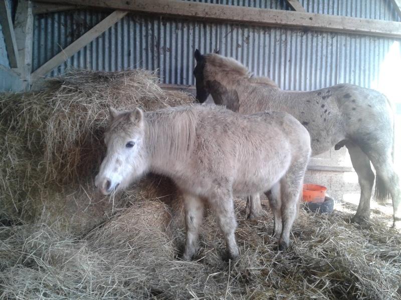 FRIPON - Welsh Pony né en 1993 - adopté en juillet 2015 par Claire 10556810