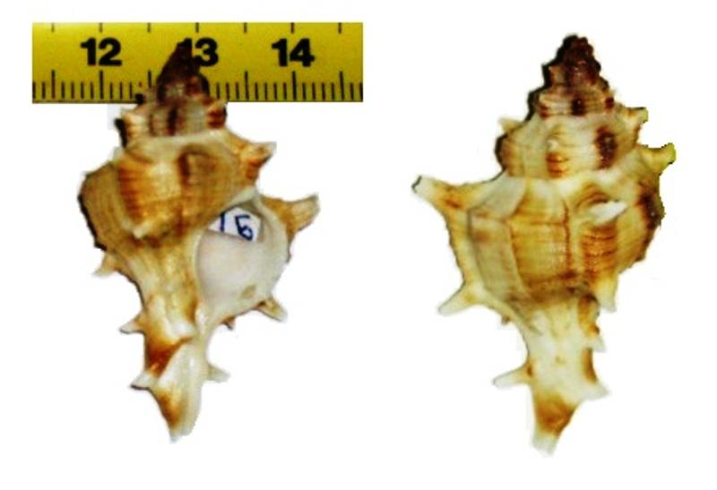 chicoreus = Chicoreus varius  2ih05z10